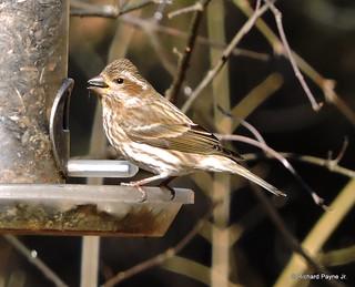 Female Purple Finch_N8325