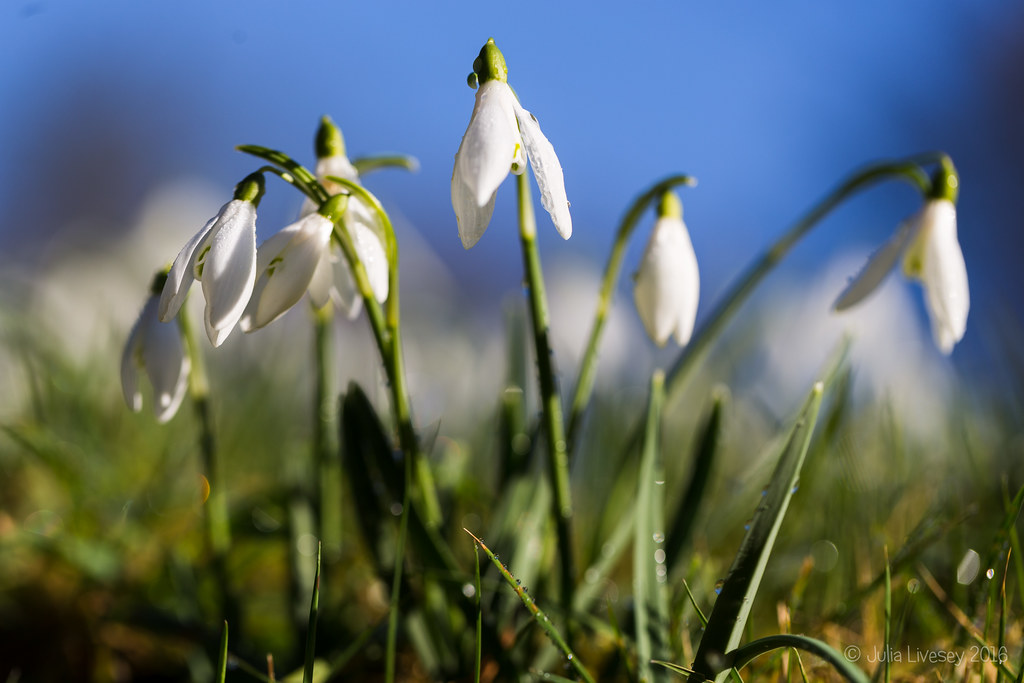 Snowdrops against a blue sky