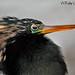 Anhinga...Anhinga anhinga.... by Birdwatchers of Puerto Rico