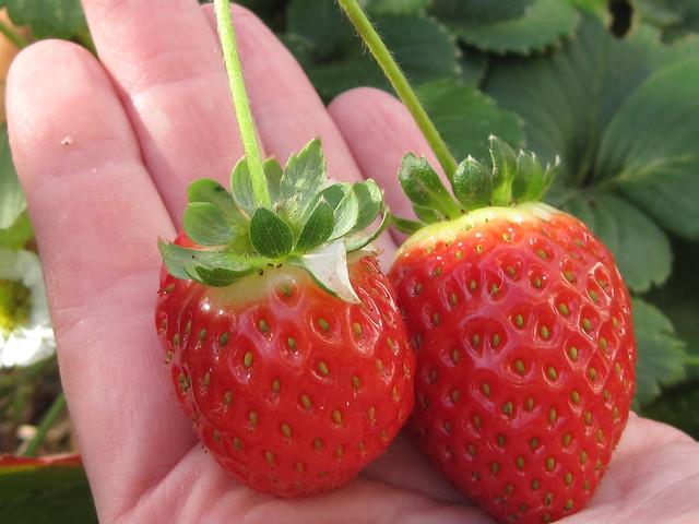 Fresas deliciosas