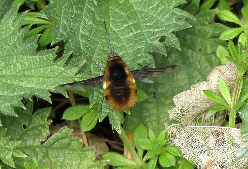 Bombylius major Tophill Low NR, East Yorkshire April 2016