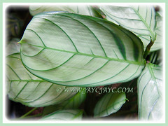 Patterned leaves of Ctenanthe burle-marxii 'Amagris' (Fishbone Prayer Plant), Feb 18 2016