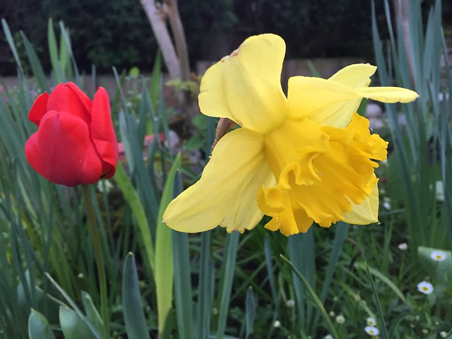 Tulip and daffodils
