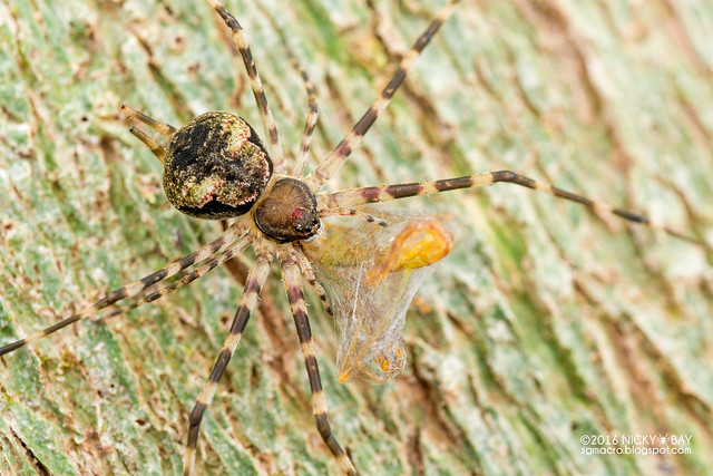 Two-tailed spider (Hersiliidae) - DSC_6508