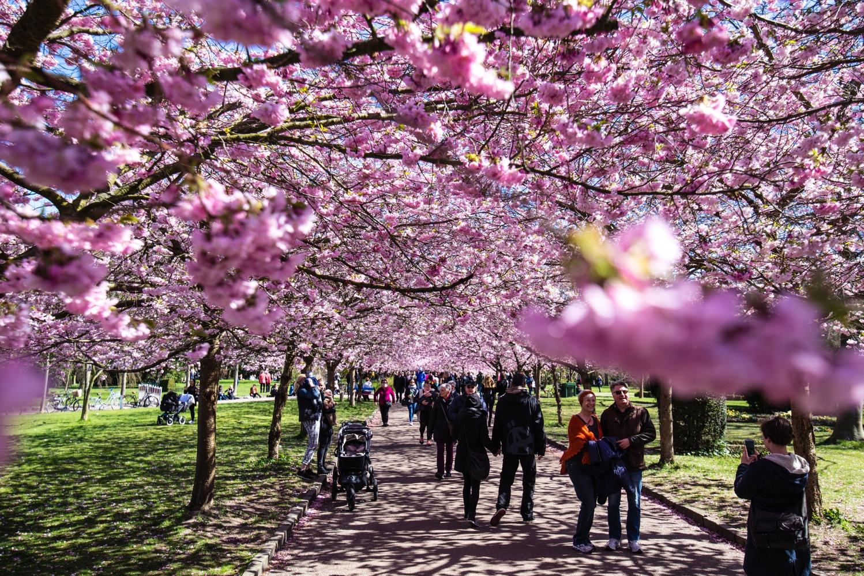 Bispebjerg Sakura-3372
