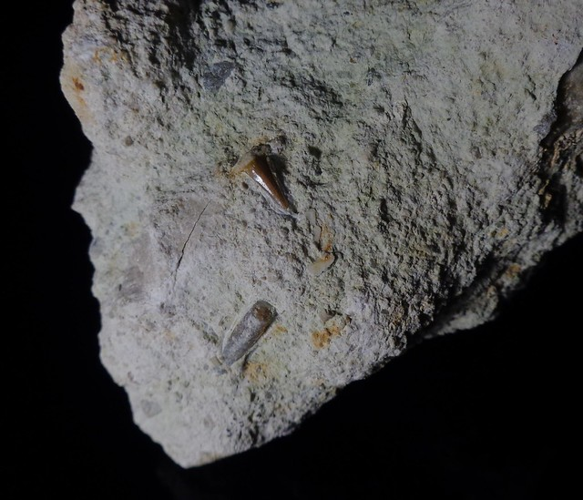 Fossilised shark tooth with belemnite