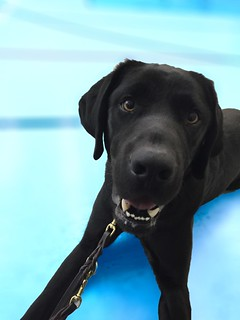 Murray, a black lab, lounges on the floor smiling at the camera at eye level.