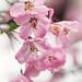 Asakusa Blossoms.