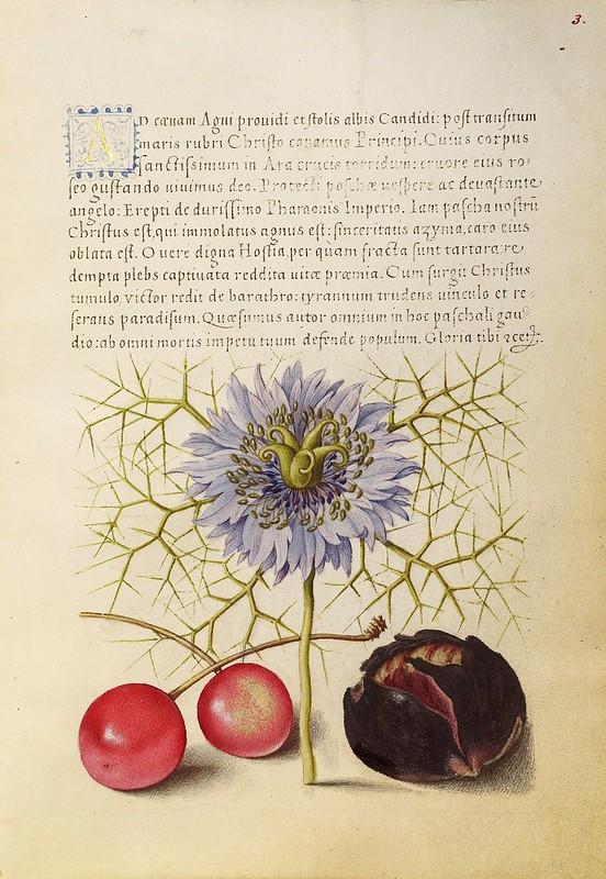 """001-Fol 3-   iluminado con flor de """"amor en la niebla"""", cerezas dulces y castaña española- Mira Calligrafhiae monumenta- Joris Hoefnagel- Getty Museum."""