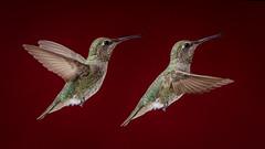 Flight: Annas Hummingbird