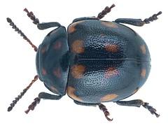 Oidosoma ornatum (Baly)
