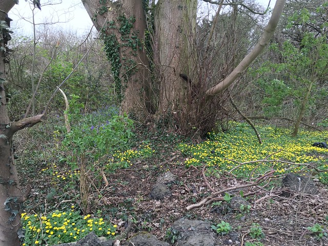 Celandines and bluebells in a wood