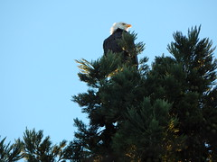 Bald eagle checking out the scene