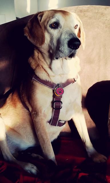 Senior hound mix enjoying the morning sun #rescueddogs #adoptdontshop #LapdogCreations