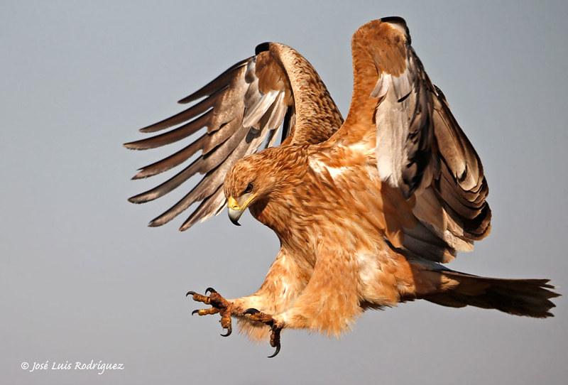 Spanish Imperial Eagle (Aquila adalberti) - José Luis Rodríguez Sánchez
