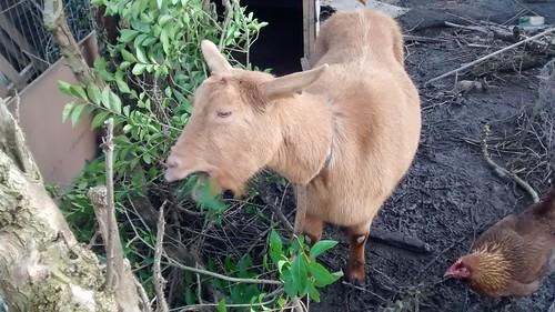 goats Jan 16 2