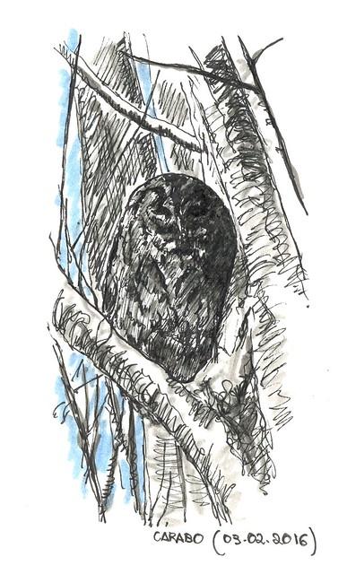 Cárabo (Strix aluco)