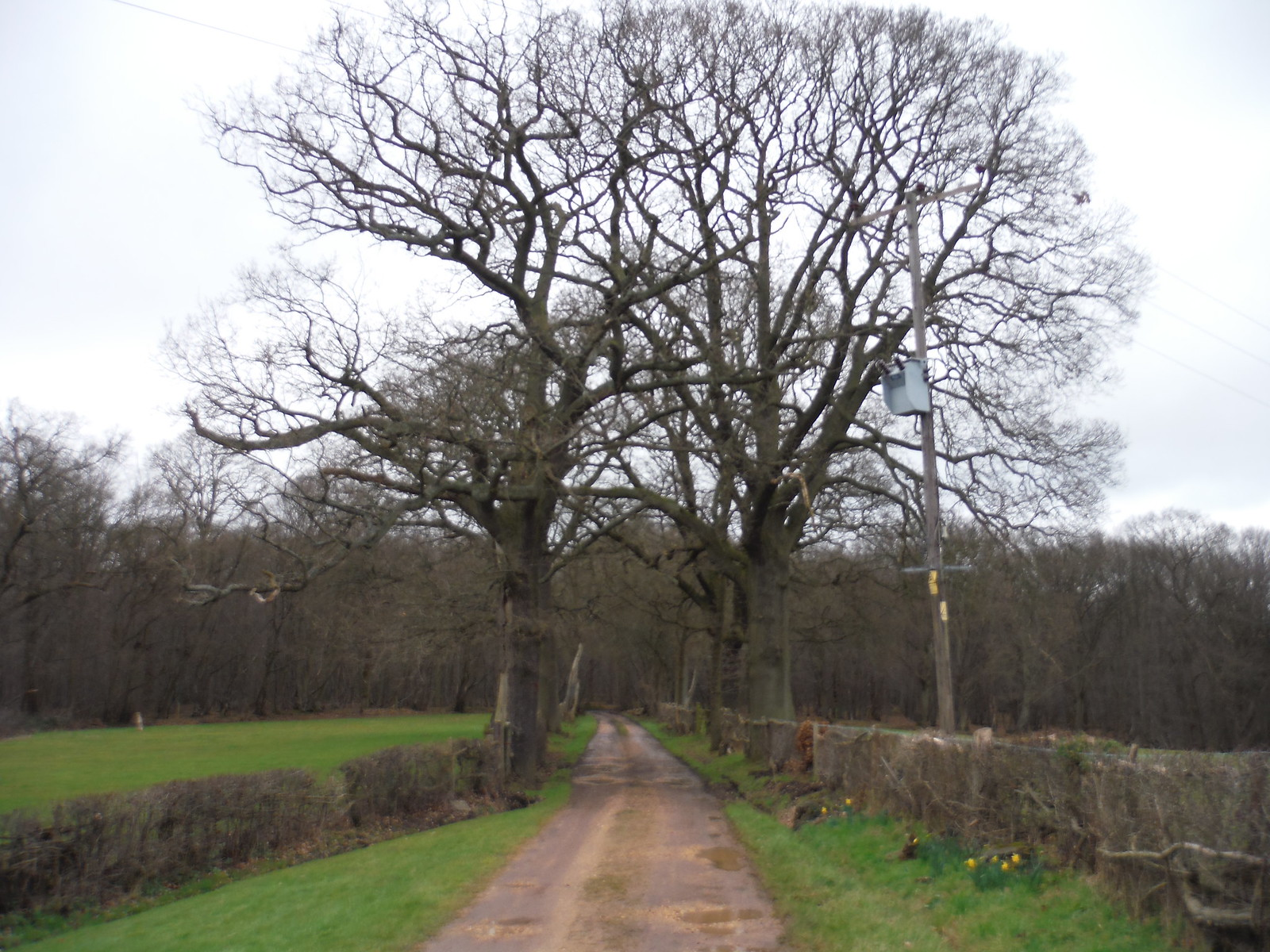 Oak Trees along driveway, Hoddesdon Lodge SWC Walk 168 Broxbourne Circular