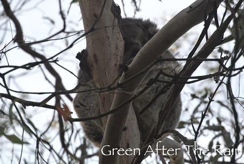 150911j Phillip Island Koala Conservation Centre _08