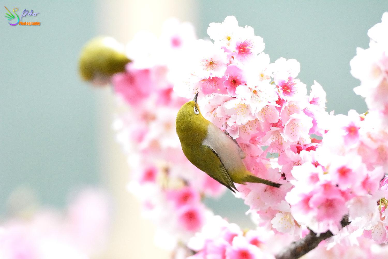 Sakura_White-eye_8284