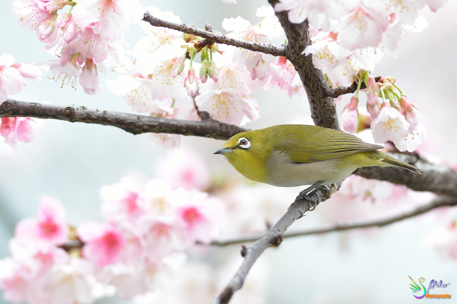 Sakura_White-eye_6742