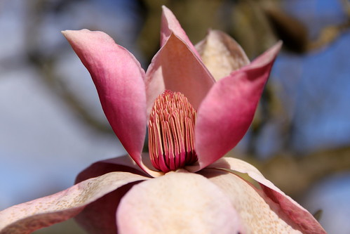 Hidcote - magnolia