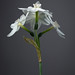 Narcissus papyraceus, Paperwhite Narcissus; 6117 by billpusztai