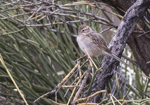 Brewer's Sparrow 3b_7D2_090416