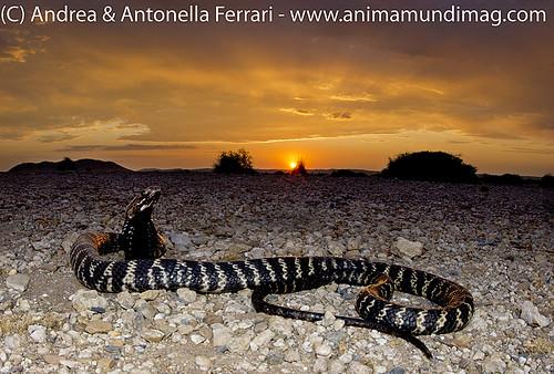 AnimaMundiMagazine posted a photo:Zebra spitting cobra Naja nigricinta, Namibia