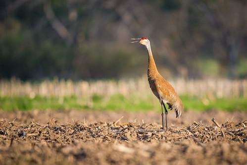 bird nature us illinois spring unitedstates crane plano sandhillcrane gruscanadensis
