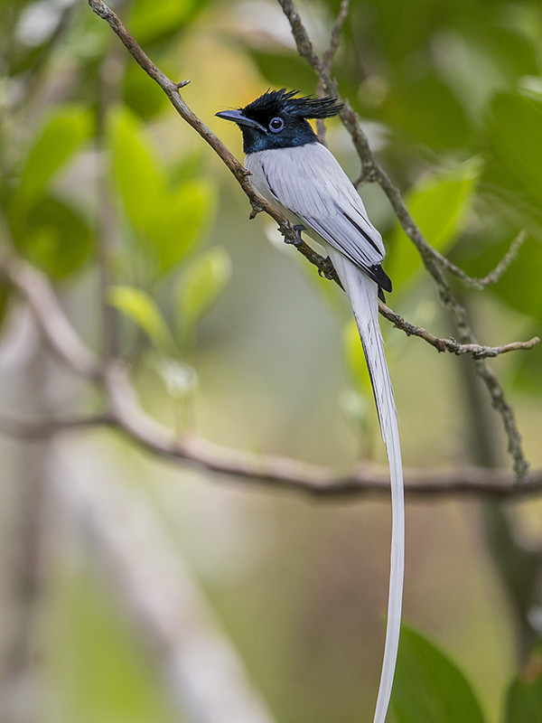 Asian Paradise Flycatcher non breeding male