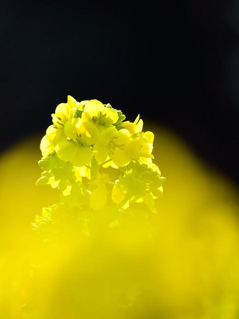 ナノハナ(カンザキハナナ) Rape blossoms