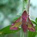 Small elephant hawk-moth (Deilephila porcellus) by Franziska Bauer