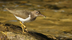 Spotted Sandpiper, Anclote Gulf Park