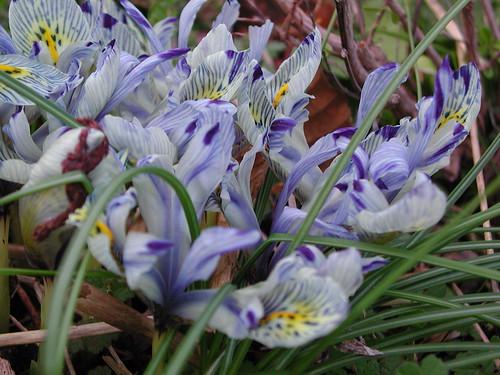 Iris histrioides 'Katharine Hodgkin'