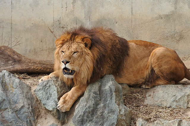 lion ライオン NIKON J5