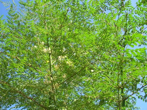 starr-060921-9048-Moringa_oleifera-leaves_and_flowers-Kahului-Maui