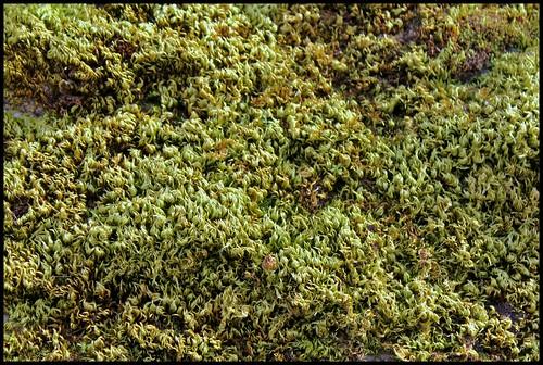 Homalothecium sericeum (10)