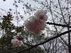 木場公園 桜