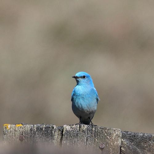 bird nature washingtonstate kittitascounty mountainbluebird whiskeydickwildlifearea ltmurraywildlifearea