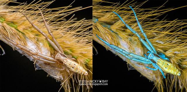 Crab spider (Runcinia sp.) - Runcinia_DSC_1699