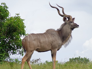 Kudu | by Ujuzi African Travel