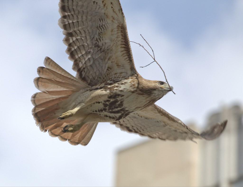 Chinatown hawk