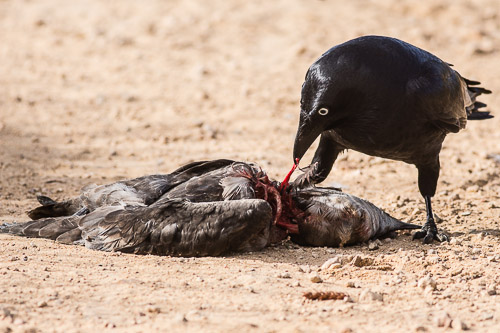 Crow vs Mutton Bird