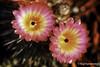Notocactus Rutilans Flowers