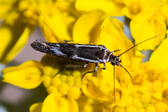 Moth (Family Gelechiidae)