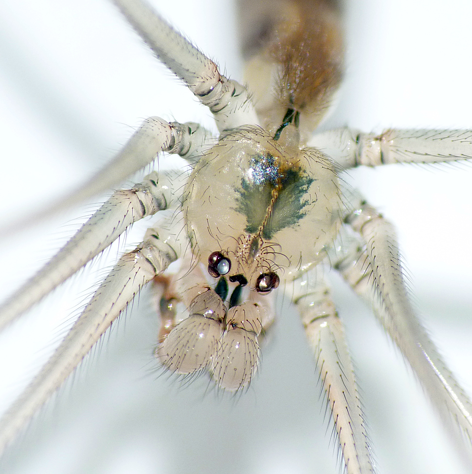 Pholcus phalagioides STE 26Dec15