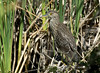 Juvenile Black-crowned Night-heron -----Nycticorax nycticorax by creaturesnapper