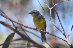 Eastern Yellow Robin  ( The young one )
