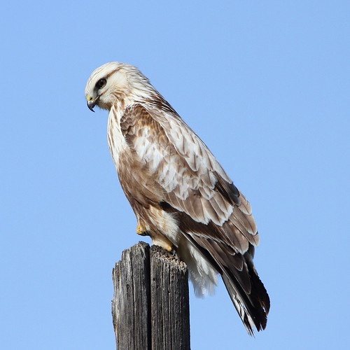 bird nature washingtonstate kittitascounty roughleggedhawk rapter whiskeydickwildlifearea ltmurraywildlifearea